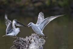 Seagulls Fighting Royalty Free Stock Photography