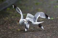 Seagulls fighting. A high resolution image of seagulls fighting Stock Photo