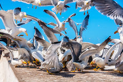 Seagulls fighting for the fish in Essaouira Stock Photos