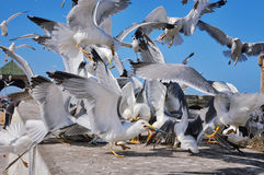Seagulls fighting for the fish in Essaouira Stock Image