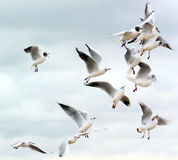 Seagulls fighting for food. Seagulls flying and fighting for food against a sky background stock image