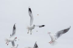 Seagulls fighting for the food Stock Photography