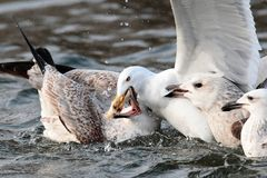 Seagulls fighting for food Royalty Free Stock Photo