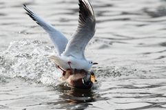 Seagulls fighting for food with a mallard duck mal. E on a lake in the Danube Delta, Romania Stock Photo