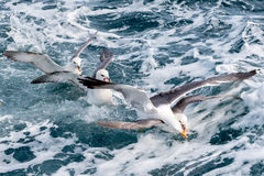 Seagulls fighting for food Stock Photography