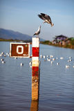 Seagulls fighting inflight on a pole in harbor Royalty Free Stock Photo