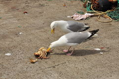 Seagulls fighting over a crab in a Fishing harbour. Stock Photography
