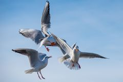 Seagulls are fighting over food. Four seagulls are fighting for a piece of bread in the blue background Stock Image