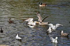 Seagulls fighting over piece of bread Royalty Free Stock Images