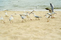 Seagulls are fighting for a piece of bread on the coast. Royalty Free Stock Photo