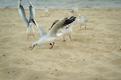 Seagulls are fighting for a piece of bread on the coast. Royalty Free Stock Image