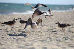 Seagulls fighting to eat something from a plastic box left by pi. Cnickers on a sunny  day on the beach, squabbling between them. Sea birds in search of food Royalty Free Stock Photos