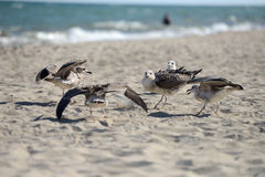 Seagulls fighting to eat something from a plastic box left by pi. Cnickers on a sunny  day on the beach, squabbling between them. Sea birds in search of food Stock Photo
