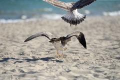 Seagulls fighting to eat something from a plastic box left by pi. Cnickers on a sunny  day on the beach, squabbling between them. Sea birds in search of food Royalty Free Stock Photography