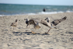 Seagulls fighting to eat something from a plastic box left by pi. Cnickers on a sunny  day on the beach, squabbling between them. Sea birds in search of food Royalty Free Stock Image
