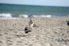 Seagulls fighting to eat something from a plastic box left by pi. Cnickers on a sunny  day on the beach, squabbling between them. Sea birds in search of food Royalty Free Stock Images