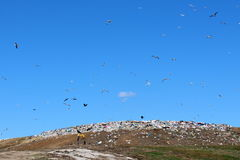 Seagulls flaying over big pile of trash. Multiple seagulls flaying in circles over big pile of trash on a warm sunny day and with clear blue sky in background Stock Images