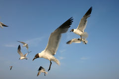 Seagulls in flight. In Tampa Bay, Florida royalty free stock image