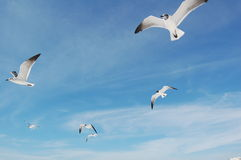 Seagulls in Flight Royalty Free Stock Image