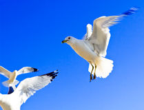 Seagulls in Flight Stock Photos