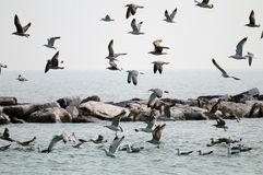 Seagulls flight. A flock of seagulls flying over a rock reef on a bright sunny day Stock Photo