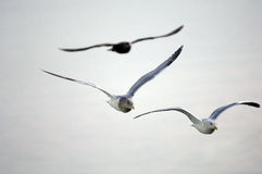 Seagulls in flight. Over Puget Sound Royalty Free Stock Image