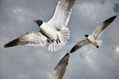 Seagulls in flight. Stock Photo