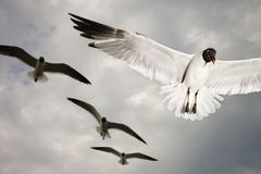 Seagulls in flight. Royalty Free Stock Photo
