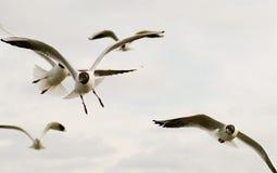 Seagulls in flight. Stock Image