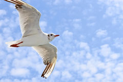 Seagulls flight Stock Photography