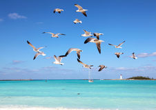 Seagulls in flight Royalty Free Stock Photos