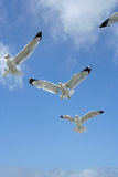 Seagulls in Flight. Seagulls flying with wings spread wide, background of blue sky and white clouds Royalty Free Stock Image