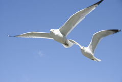Seagulls in flight. Close-up of two seagulls in flight Stock Photography
