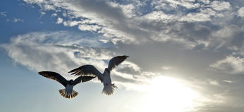 Seagulls in Flight. Two seagulls with sunlight filtering through wings spread, flying at sunset with the sun brightly peering through the clouds and blue sky Royalty Free Stock Image
