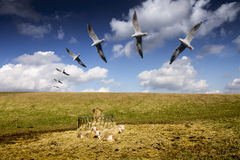 Seagulls Flight Above Resting Sheep. Landscape with Blue Sky stock photo