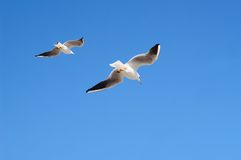 Seagulls in flight against blue sky Royalty Free Stock Photos