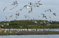 Seagulls in Flight Stock Photography