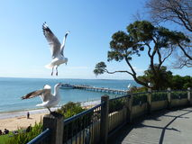 Seagulls in flight. At Cowes, Phillip Island.  Glorious day with eautiful blue sky and calm sea Stock Photo