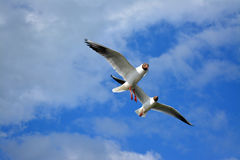 Seagulls in flight Royalty Free Stock Photography