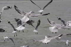 Seagulls in flight. Flock of seagulls flying by lake Royalty Free Stock Photography