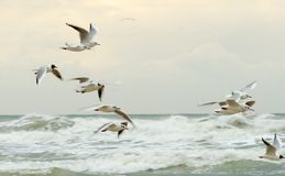 Seagulls in flight Stock Image