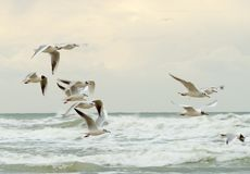 Seagulls in flight Stock Images