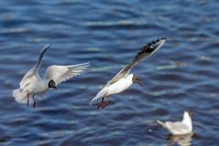 Seagulls in flight Royalty Free Stock Photos
