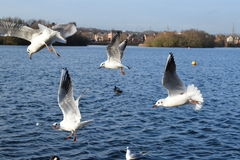 Seagulls In Flight On Lake Stock Photo