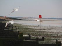 Seagulls in flight at low tide stock video