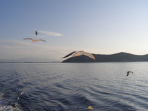 Seagulls in flight, mountain in background Royalty Free Stock Photo