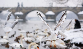 Seagulls in Flight near Charles Bridge in Kampa in Prague Stock Photo