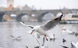 Seagulls in Flight near Charles Bridge in Kampa in Prague stock images
