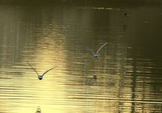 Seagulls in flight over lake stock photography