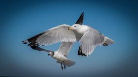 Seagulls in flight. Pair of Seagulls in flight at Fernandina Beach,Florida Stock Photos